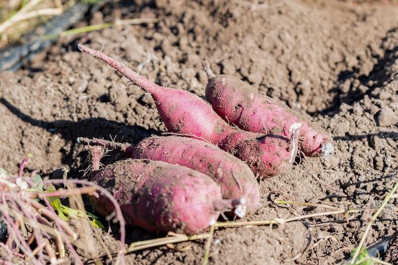 サツマイモ畑の土埃が外壁を汚す